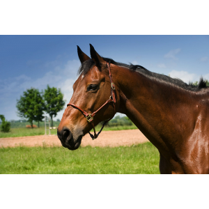 Round leather headcollar C.S.O.